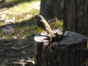 17-07-yellow-robin-at-wasp-head-4