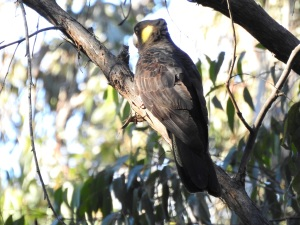 17-07-yellow-tailed-black-cockatoo-eurobodalla-regional-botanic-gardens-5