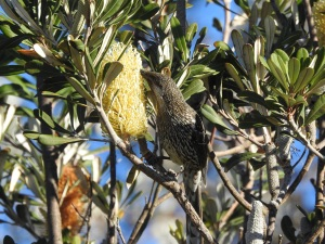 17-08-brush-wattlebird-feeding-on-banksia-mullimburra-point-1