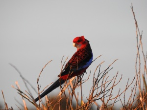 17-08-crimson-rosella-at-sunrise-north-broulee-2