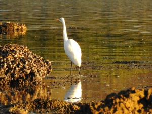 17-08-great-egret-at-sunrise-mossy-point-3
