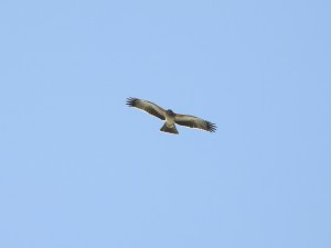17-08-little-eagle-near-budd-island-3