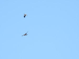 17-08-magpie-chasing-sea-eagle-at-tomakin-4