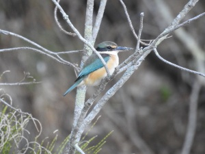 17-08-sacred-kingfisher-candlagan-creek-6