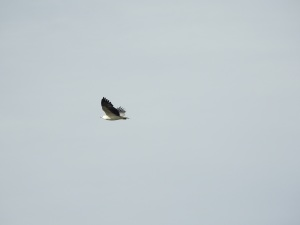 17-08-sea-eagle-mullimburra-point-3