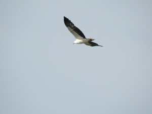17-08-sea-eagle-mullimburra-point-5