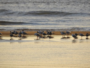 17-08-seagulls-and-terns-at-sunrise-mossy-point