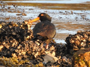 17-08-sooty-oyster-catcher-at-sunrise-at-mossy-point-2