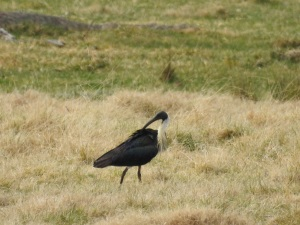 17-08-straw-necked-ibis-near-bingie-turnoff-2