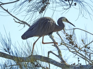 17-08-white-faced-herons-in-tree-at-tomakin-3