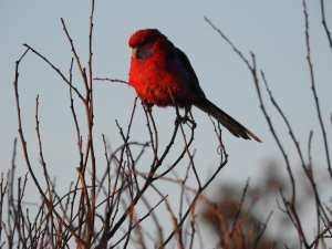 17-09-11-crimson-rosella-at-sunrise-at-north-broulee-2