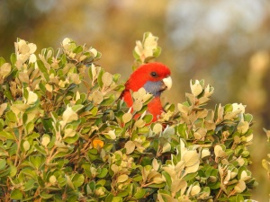 17-09-23-crimson-rosella-at-sunrise-north-broulee-5