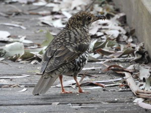 17-09-bassian-thrush-with-catch-at-eurobodalla-regional-botanic-gardens-2