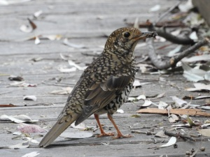 17-09-bassian-thrush-with-catch-at-eurobodalla-regional-botanic-gardens-4