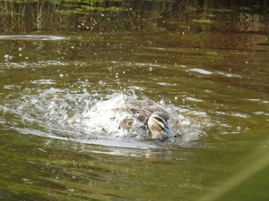 17-09-black-duck-splashing-at-eurobodalla-regional-botanic-gardens