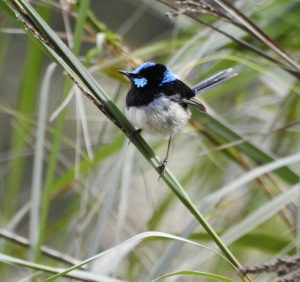 17-09-blue-wren-m-barlings-swamp