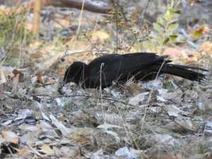 17-09-chough-bimbimbie-road-1