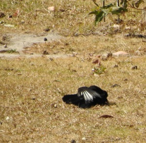 17-09-chough-bimbimbie-road-2