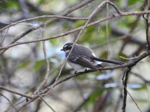 17-09-fantail-bodalla-state-forest-2