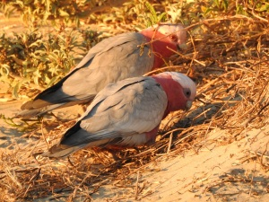 17-09-galahs-at-sunrise-on-north-broulee-beach-3
