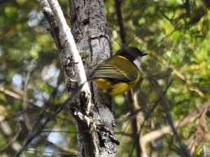 17-09-golden-whistler-bodalla-state-forest-5