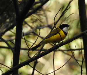 17-09-golden-whistler-bodalla-state-forest-6