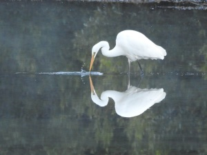 17-09-great-egret-candlagan-creek-4