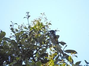 17-09-new-holland-honeyeater-bimbimbie-road