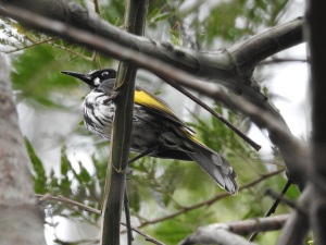 17-09-new-holland-honeyeater-at-eurobodalla-regional-botanic-gardens