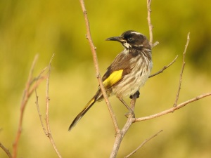 17-09-new-holland-honeyeater-at-sunrise-north-broulee-1