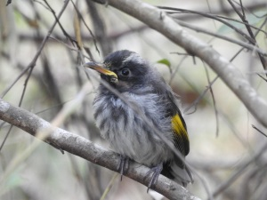 17-09-new-holland-honeyeater-j-at-eurobodalla-regional-botanic-gardens-1