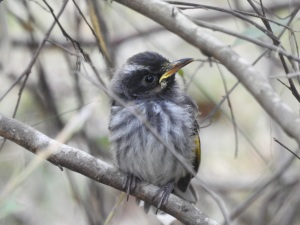 17-09-new-holland-honeyeater-j-at-eurobodalla-regional-botanic-gardens-3