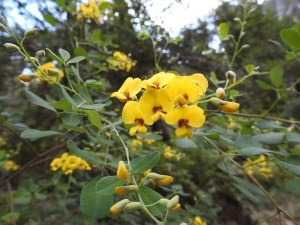 17-09-pea-flower-bodalla-state-forest-2