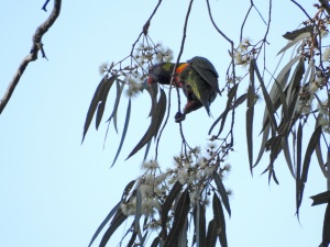 17-09-rainbow-lorikeet-bimbimbie-road-4