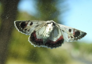 17-09-red-lined-geometridae-moth-broulee-3