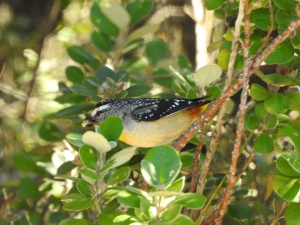 17-09-spotted-pardalote-north-broulee-2