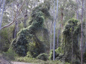 17-09-the-forest-bodalla-state-forest-4