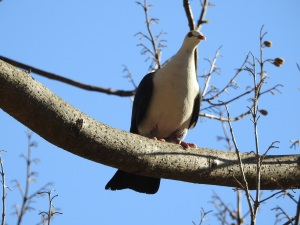 17-09-white-headed-pigeon-broulee-2