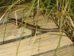 17-09-yellow-bellied-skink-at-eurobodalla-regional-botanic-gardens-4