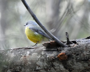 17-09-yellow-robin-bodalla-state-forest