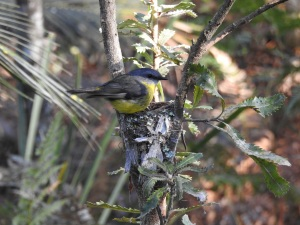 17-10-03-yellow-robin-approaching-nest-in-bush-behind-banksia