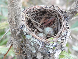 17-10-03-yellow-robin-eggs-in-nest-in-bush-behind-banksia