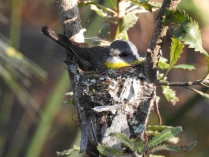 17-10-03-yellow-robin-on-nest-in-bush-behind-banksia-4