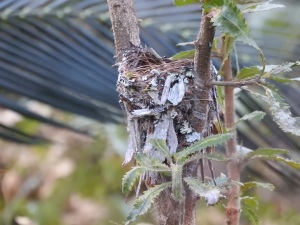 17-10-14-yellow-robin-nest-in-bush-behind-banksia-2