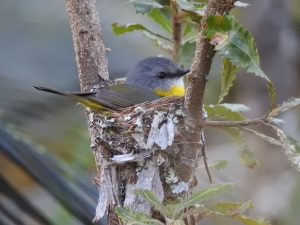 17-10-14-yellow-robin-on-nest-in-bush-behind-banksia-3