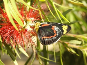 17-10-black-jezebel-butterfly-maloneys-beach-3