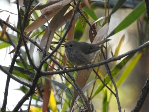 17-10-brown-thornbill-calling-in-bush-behind-banksia-1