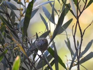 17-10-brown-thornbill-in-bush-behind-banksia-6