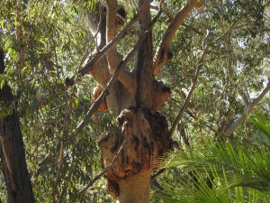 17-10-burl-on-tree-above-maloneys-beach
