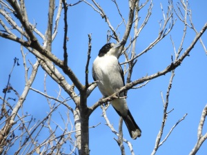 17-10-butcher-bird-barlings-swamp-1